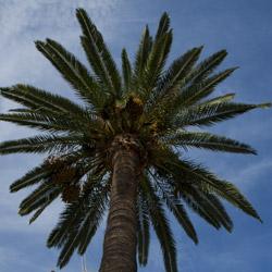 calvi-Corsica-france-palm tree view