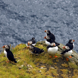 denmark-faroe-islands-atlantic-puffins