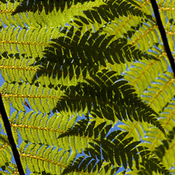 new-zealand-wellington--botanic-gardens-national-symbol-the-Silver-Fern